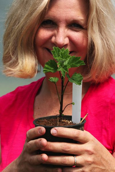 by: OUTLOOK PHOTO: JIM CLARK - Of the more 12,000 herb plants Linda Woods-Taylor nurtures each year, marshmallow rates up there as one of the most unusual. Marshmallow is considered a natural remedy for an upset stomach.