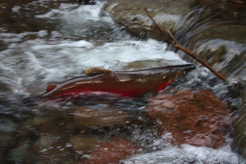 by: FRANCES BERTEAU - A coho spawner was spotted in the Salmon River, a tributary to the Sandy River. More than 600 salmon have been spotted in a restored pool near the restored side channels.