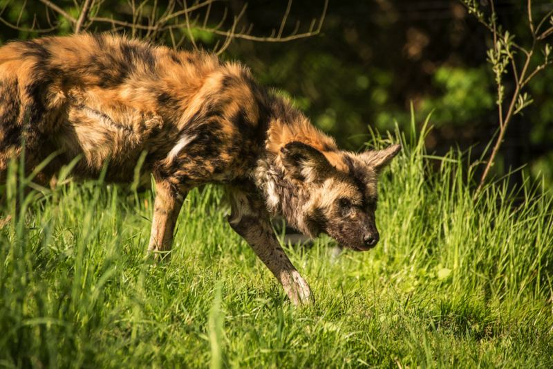 by: MICHAEL DURHAM, COURTESY OF OREGON ZOO - The African wild dog is one of the Oregon Zoo's species that will be highlighted on Endangered Species Day