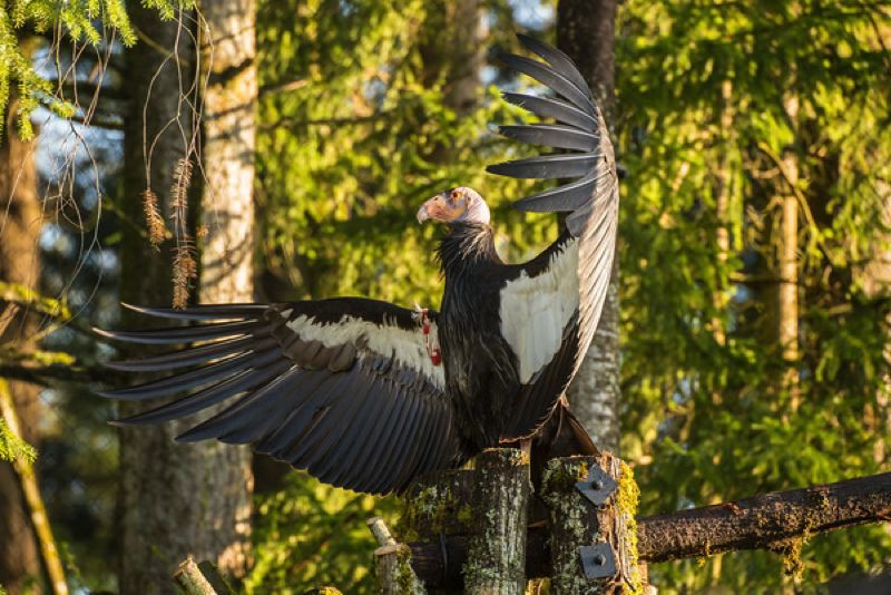 by: OREGON ZOO / PHOTO BY MICHAEL DURHAM - A California condor at the new Condors of the Columbia exhibit at the Oregon Zoo, which opens this weekend.