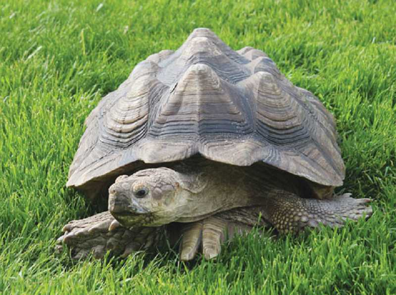 by: HOLLY M. GILL - 'Tiny,' an African spurred, sulcata tortoise, is back home this week after he burrowed out from under a fence last Wednesday, and went for an overnight stroll.
