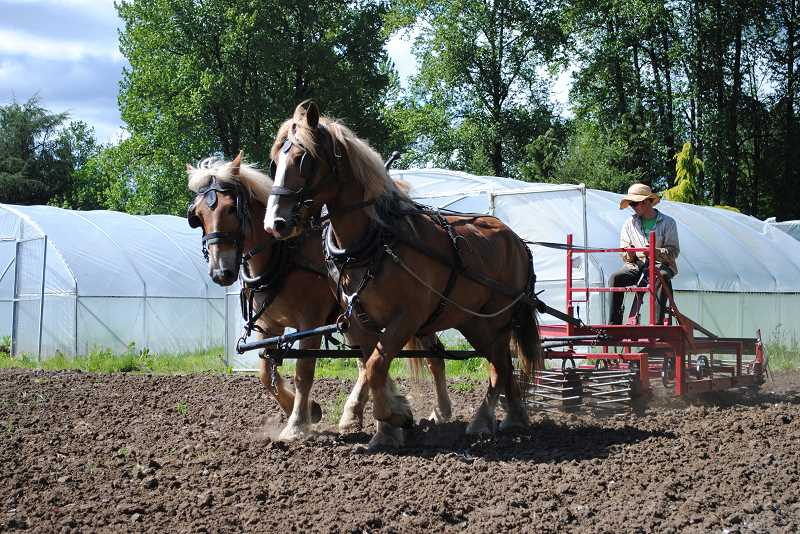 by: NEWS-TIMES PHOTO: STEPHANIE HAUGEN - Brothers Aaron and Jesse Nichols do a significant portion of their farming with their draft horses hitched up to plows and other apparatuses.