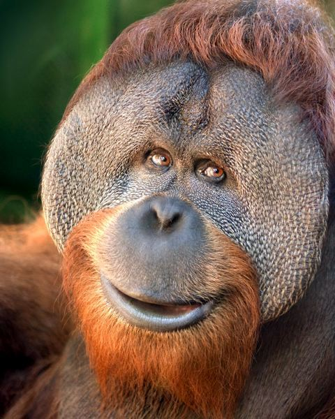 by: OREGON ZOO - 20-year-old orangutan Kutai died after surgery