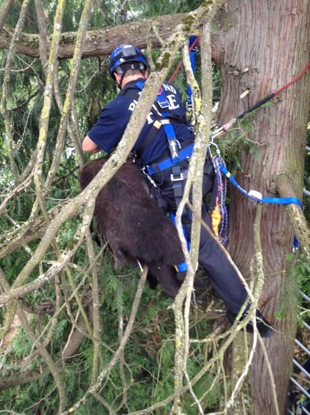 by: PORTLAND FIRE & RESCUE - Portland firefighter Bill Schimel secures the bear to a harness after it is tranquilzed in a Northeast Portland tree.