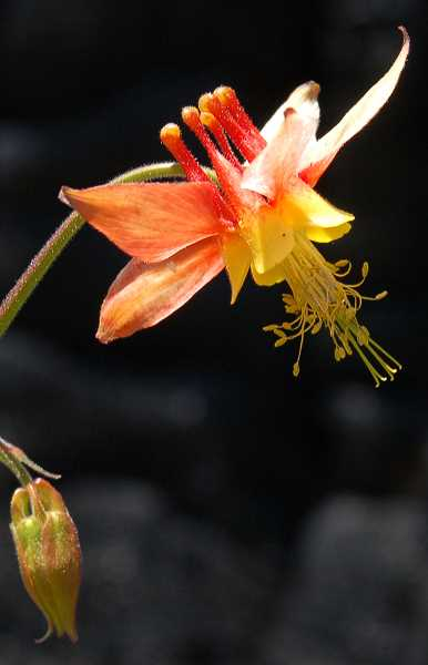 by: SCOTT STAATS SPECIAL TO THE CENTRAL OREGONIAN - Colorful crimson columbines can be seen throughout the burn.