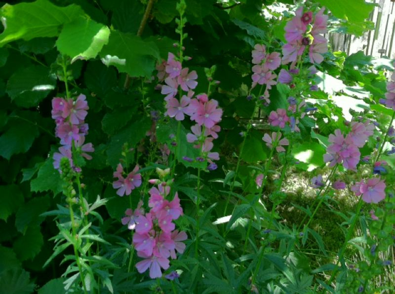 by: COURTESY OREGON DEPARTMENT OF FORESTRY - A rosy checkmallow is an attractive and hardy native plant choice to attract birds to your yard or garden.