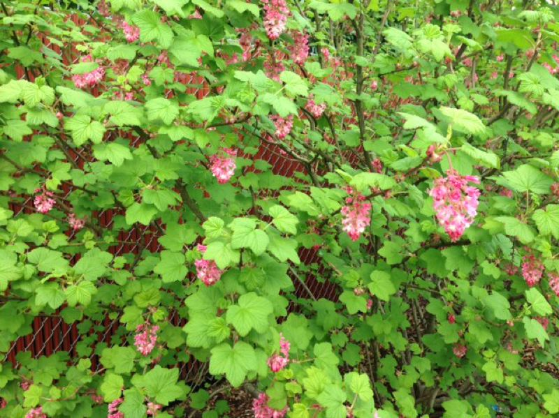 by: COURTESY OF OREGON DEPARTMENT OF FORESTRY - The red flowering currant is another good plant to lure birds to your property.