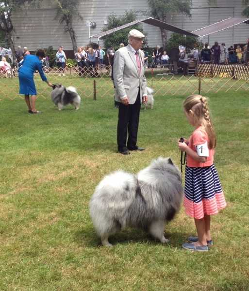 by: RAY HUGHEY - Ava Linton, 6, of Vancouver, Wash., shows Riley in the best of breed Keeshond competition.
