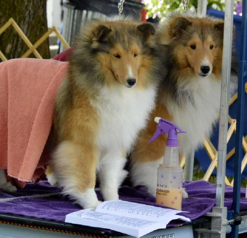 A pair of Shetland Sheepdogs get gussied up for the show ring.