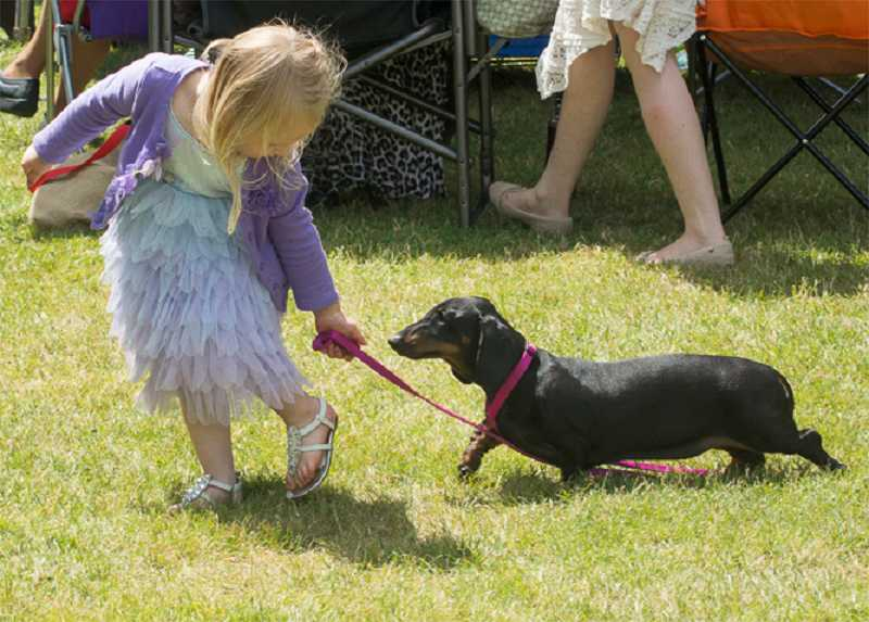 Teagan Baggenstos, 3, coaxes a patient dachshund. Teagan is the daughter of Luke and Rowan Baggenstos, of Graham, Wash.