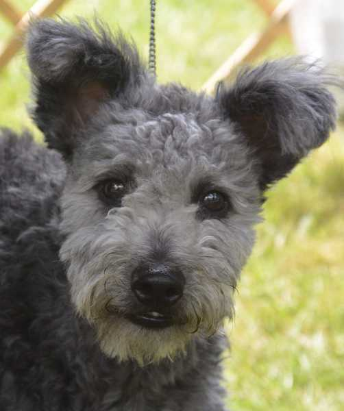 This winsome face belongs to a young pumi, a medium-size herding dog from Hungary.first imported to the U.S. in the 1990s.