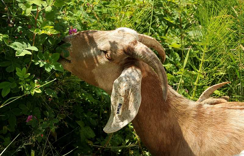 by: TIDINGS PHOTO: VERN UYETAKE - Goats are a common solution for invasive plant problems at West Linn parks.