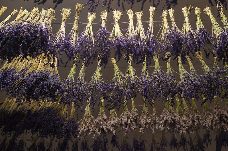 by: SPOKESMAN PHOTO: JOSH KULLA - Fresh lavender hangs from the ceiling to dry at Barn Owl Nursery in Stafford.