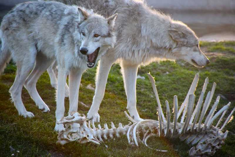 by: PHOTO COURTESY OF GOOGLE - Crook County is mounting a bone pile removal program to prevent the attraction of wolves to the area.