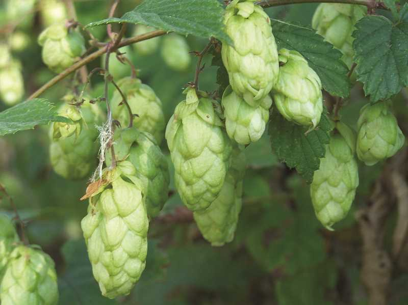 by: SUBMITTED PHOTO - Hops inspired the Hubbard Hop Festival, now in its 41st year.