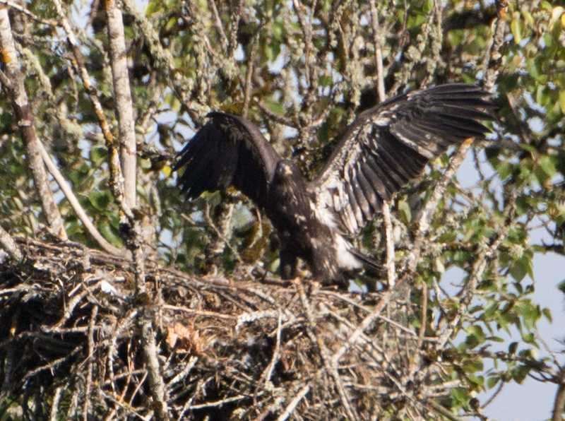 by: COURTESY PHOTO: STEVE HALPERN - The 12-week-old eaglet flaps and hops in the nest, but hasnt yet jumped out.