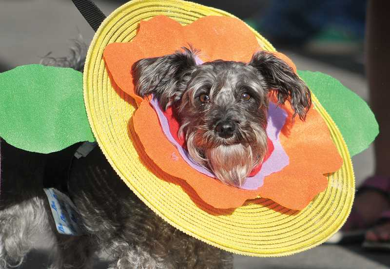 by: GARY ALLEN - A contestant is ready for his chance to make a splash at the dog costume contest Thursday evening at the Renne tennis courts.