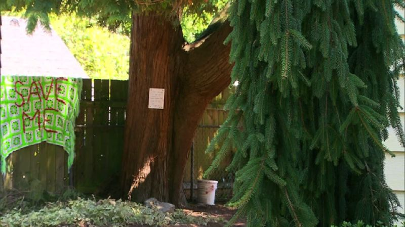 by: KOIN 6 NEWS - Neighbors are upset about this 70-year-old western red cedar tree on Northeast 22nd Avenue possibly being cut down.
