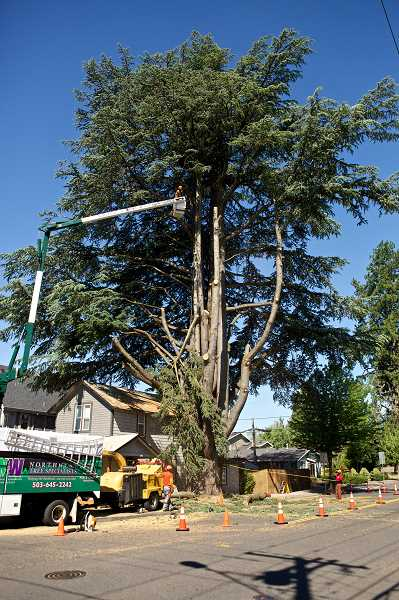 Photo Credit: JAIME VALDEZ - The Cedar of Lebanon tree on Southwest Second Avenue has stood since 1895 when it was planted by the town marshal.