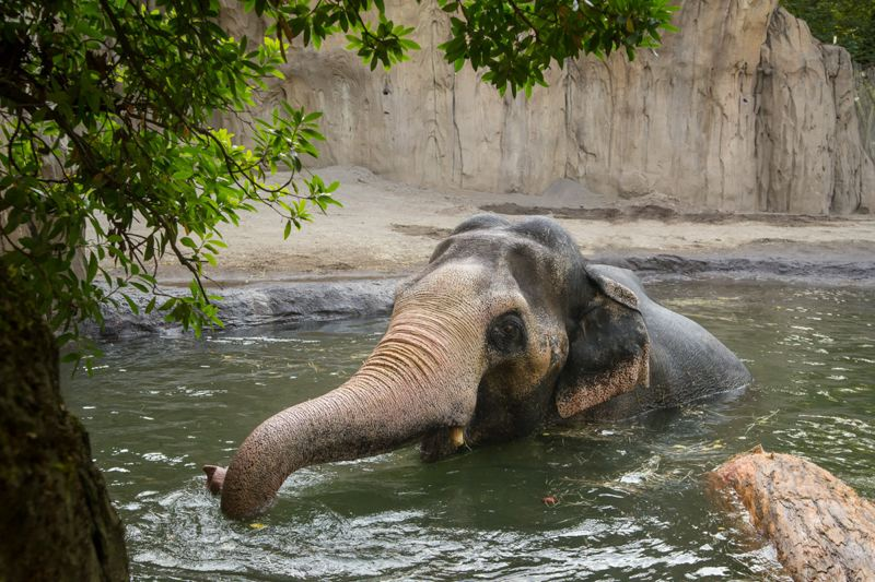 Photo Credit: MICHAEL DURHAM, COURTESY OF THE OREGON ZOO. - Packy, the 52-year-old elephant at the Oregon Zoo, goes for a swim to cool off.