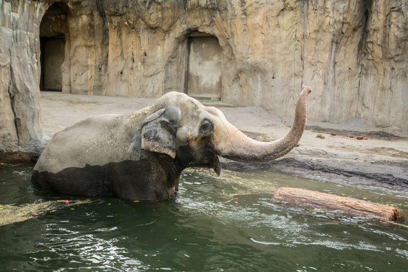 Photo Credit: MICHAEL DURHAM, COURTESY OF THE OREGON ZOO. - Swims in the 10-foot pool are also good exercise for the aging elephant.