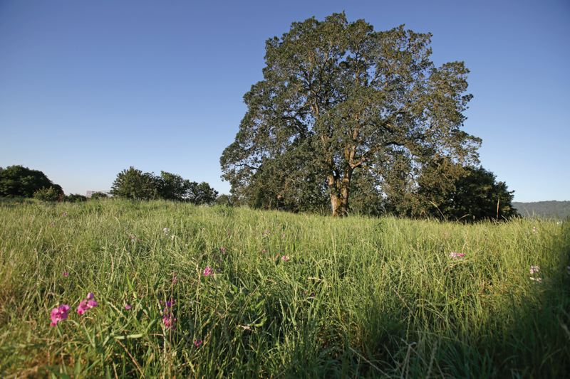 Photo Credit: PAMPLIN MEDIA GROUP: JONATHAN HOUSE - Friends of Overlook Bluff is raising matching money to preserve this massive oak tree in North Portland. The project is typical of the regions patchwork approach to preserving open space.