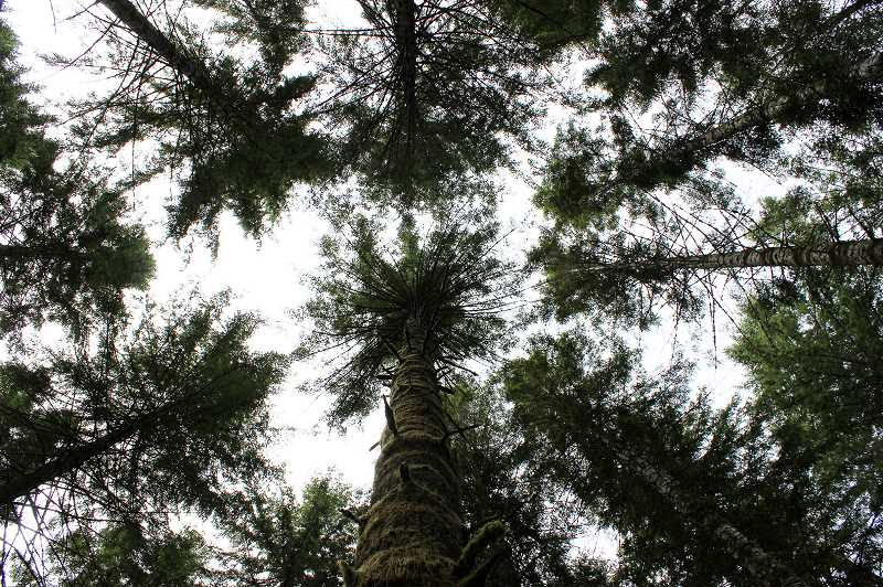 Photo Credit: NEWS-TIMES PHOTO: KATE STRINGER - A canopy of fir trees has grown up in the Tillamook Forest where charred stumps once were after wildfires in 1933, 1939, 1945 and 1951 devastated 355,000 acres.