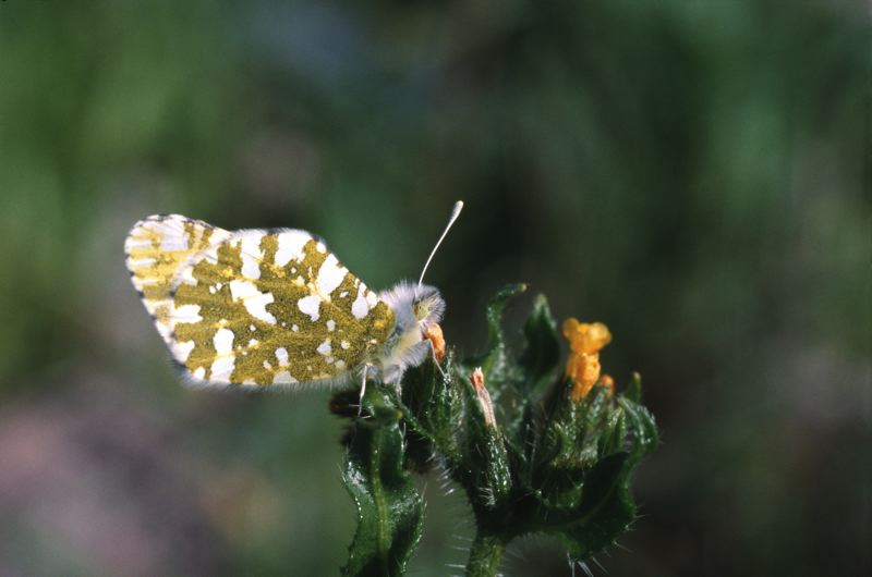 Photo Credit: PHOTO BY ROBERT MICHAEL PYLE, COURTESY OF XERCES SOCIETY  - The island marble butterfly, one of the rarest of all butterflies in the U.S., may get protection under the Endangered Species Act.