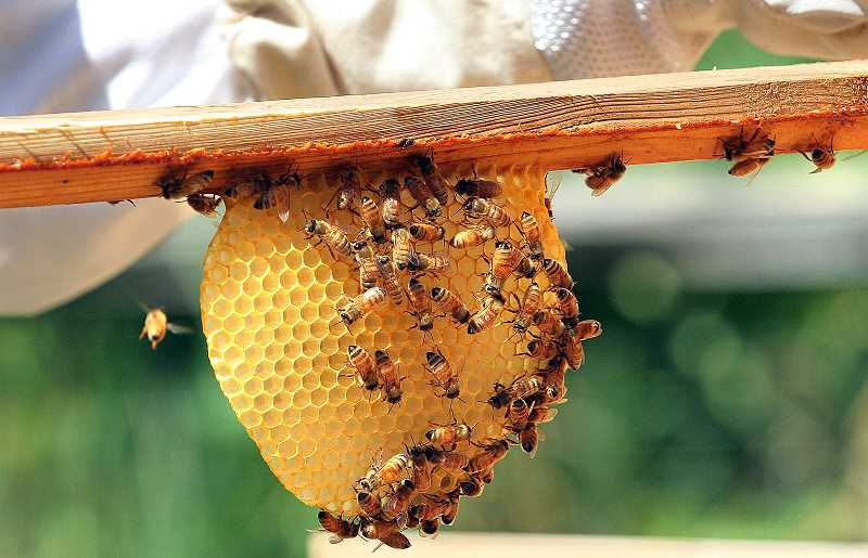 Photo Credit: REVIEW FILE PHOTO - Pesticides often are blamed for beehive collapses, but investigators feel confident that was not what caused thousands of bees to die this summer in Clackamas County.