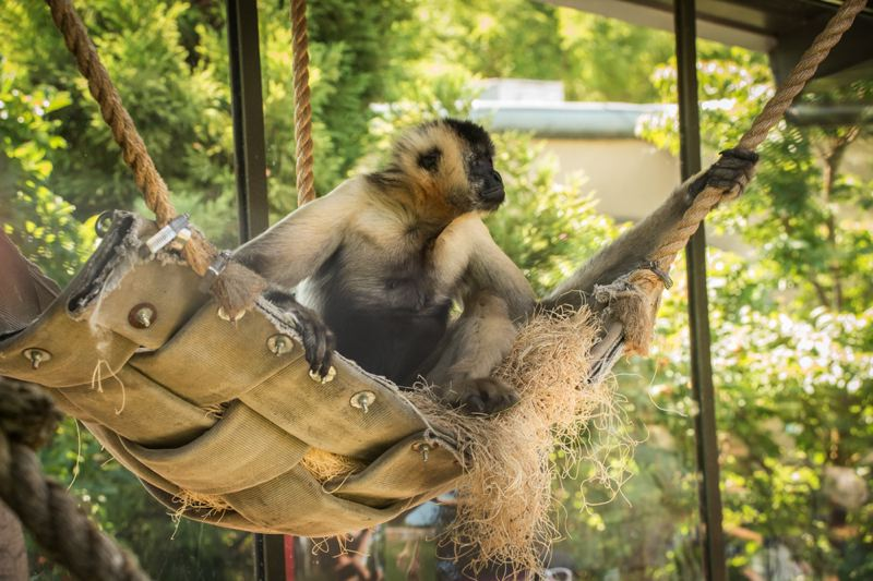 Photo Credit: PHOTO BY MICHAEL DURHAM, COURTESY OF THE OREGON ZOO - Phyllis, a 44-year-old white-cheeked gibbon, rests in a fire-hose hammock at the Oregon Zoo's Red Ape Reserve.