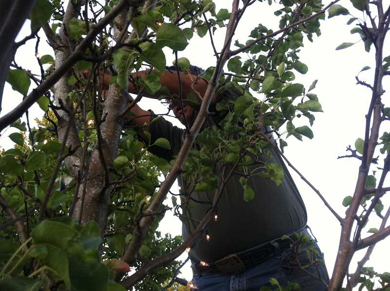 Photo Credit: NIKKI DEBUSE - Mike Bergeron, a volunteer with Woodburn Downtown Association, installs lights in one of the trees along Front Street in Woodburn.