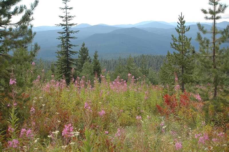 Photo Credit: ESTACADA NEWS PHOTO: ISABEL GAUTSCHI - This was the beautiful clearing with abundant huckleberries. See all those speckled reddish leaves? Huckleberry plants. The clearing offers a view of Timothy Lake and Mt. Jefferson when its not too cloudy.