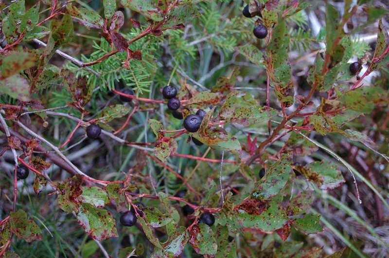 Photo Credit: ESTACADA NEWS PHOTO: ISABEL GAUTSCHI - Huckleberries are in season late summer into early fall.