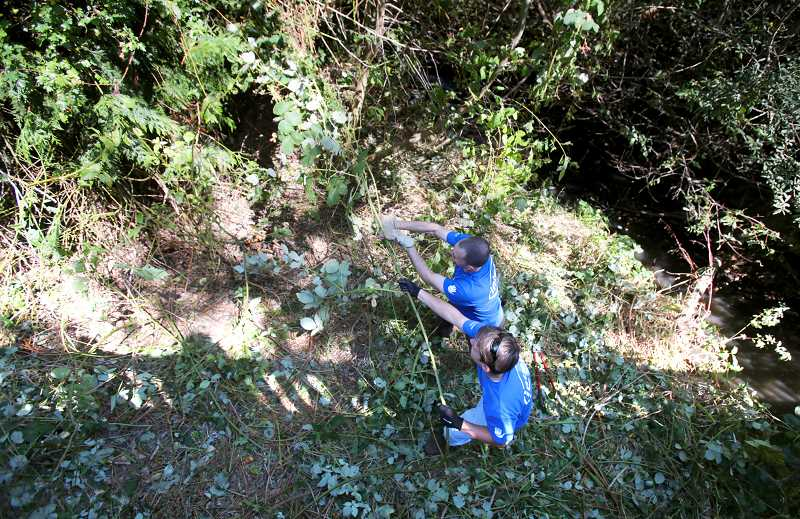 Photo Credit: TIMES PHOTO: JONATHAN HOUSE - Garry Zohar and Chad Quickstead pull blackberry bushes during a clean up event at Dirksen Nature Park in Tigard. The two were part of a large team of more than 300 Intel employees who volunteered at the park.