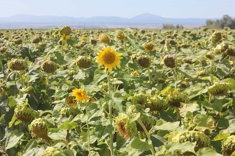 Photo Credit: SUSAN MATHENY/MADRAS PIONEER - A trial field of sunflowers on North Boise Lane.