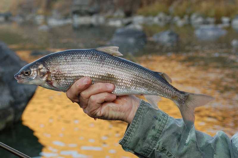 Pamplin Media Group - Whitefishing the Crooked River