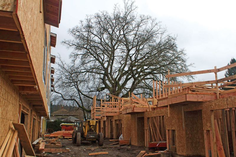 Photo Credit: TRIBUNE PHOTO: LACEY JACOBY - Thanks to neighborhood efforts last spring, Portland's only Paradox Walnut tree, which was going to be removed for construction, will remain.