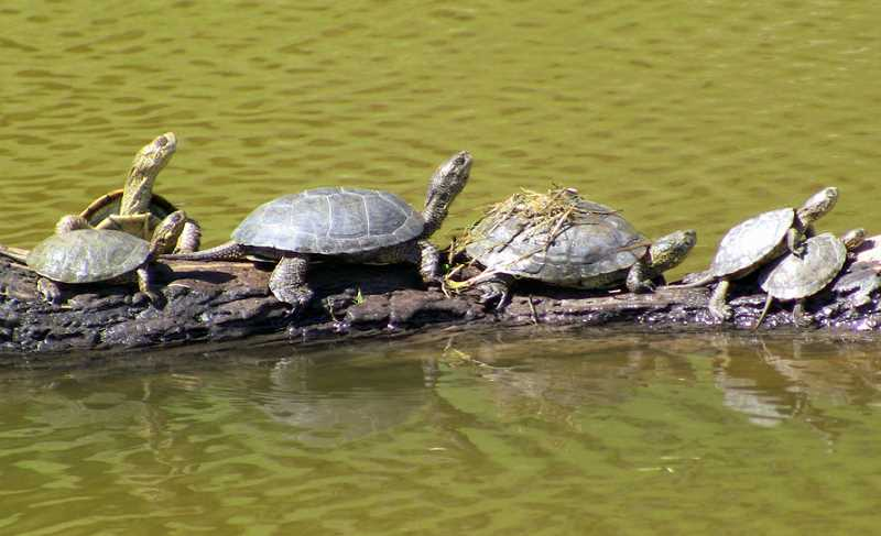 Photo Credit: GARY NAFIS - western pond turtles