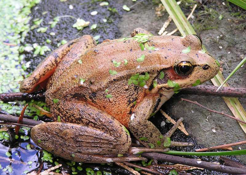 Photo Credit: ODFW - northern red-legged frog