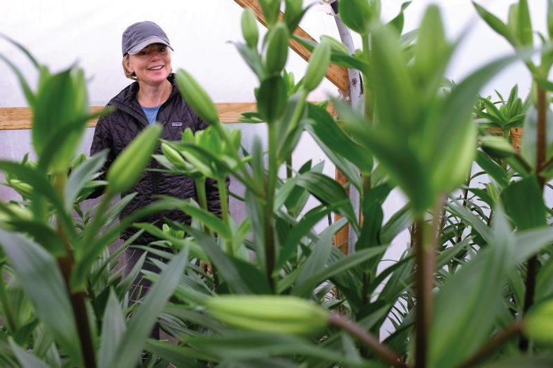 TIMES PHOTO: JAIME VALDEZ - Karen Flowers of Tualatin is positioned between L.A. Hybrid Lilies in the propagation house at Our Table Cooperative farm in Sherwood.