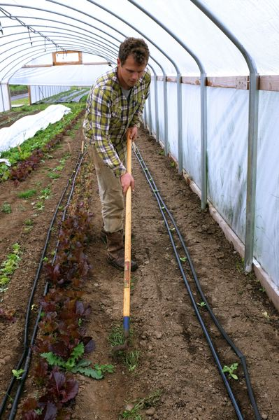 TIMES PHOTO: JAIME VALDEZ - Eric Harvey, an employee at Our Table Cooperative farm, weeds a row with a tool in a greenhouse in Sherwood.