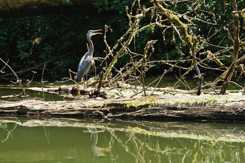 TIMES PHOTO: JAIME VALDEZ - A great blue heron sits on a fallen tree on the Tualatin River.