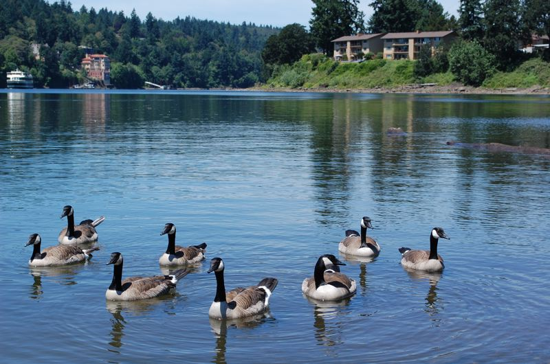 PHOTO BY: RAYMOND RENDLEMAN - Geese in the bay at Milwaukie Riverfront Park are friendly to humans and will swim up requesting to be fed while being photographed.