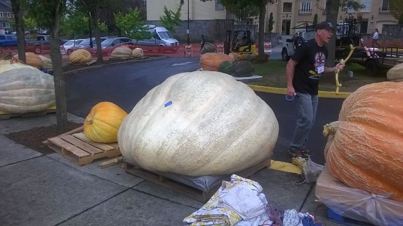 TIMES PHOTO: MARK MILLER - This enormous pumpkin grown by Steve Daletas set a new record for the West Coast Giant Pumpkin Regatta, weighing in at 1,794.5 pounds.