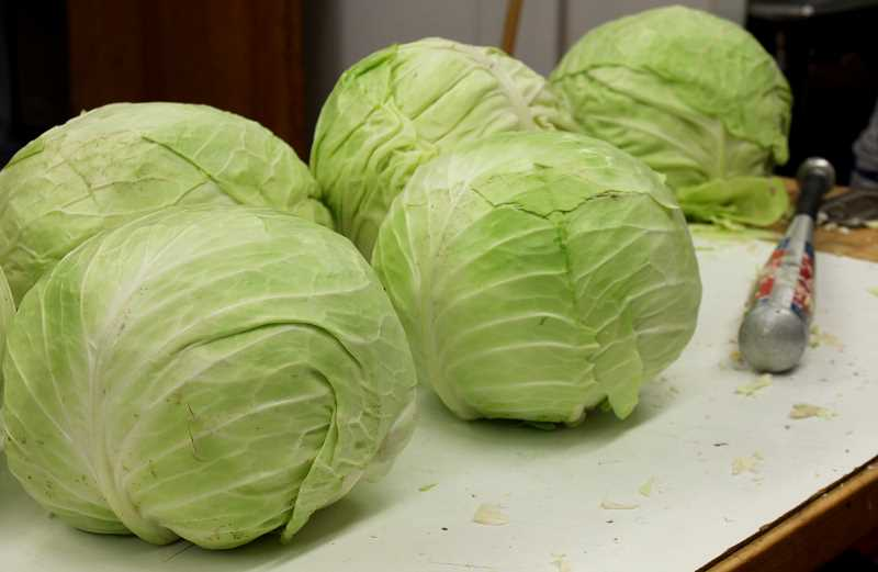 TIDINGS PHOTO: PATRICK MALEE - The West Linn Lions turned hundreds of pounds of cabbage into sauerkraut on the evening of Nov. 10.
