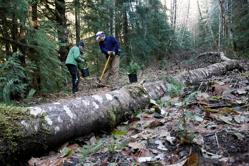 POST PHOTO: KYLIE WRAY - Christy Slovacek and Don Mench leave a trail of adolescent western red cedars as they plant their way up decommissioned Forest Service Road 111 on Saturday, Nov. 21.