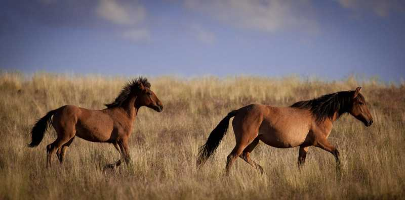 Running free on the prairie of the Great American West is what Sarah Waters wants for wild horses. But there is intense disagreement on how to best handle this issue.
