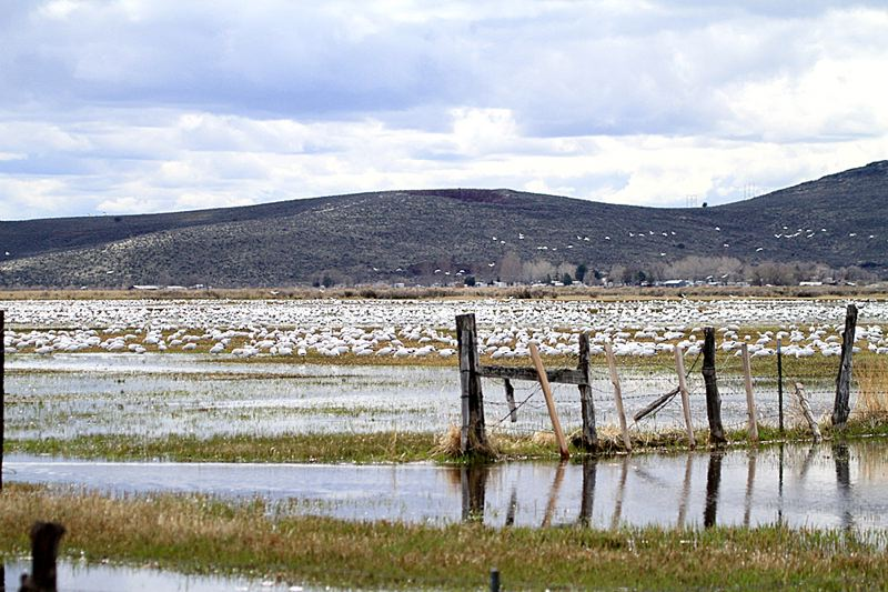 COURTESY OF TIM BLOUNT/HARNEYBIRDER.COM - Ross' Geese gather in Harney County near the Malheur National Wildlife Refuge. A nonprofit group that supports refuge programs raised more than $30,000 during the 41-day standoff with militants at the Harney County site.