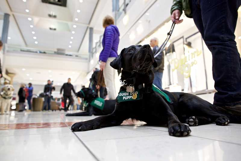 TIMES PHOTO: JAIME VALDEZ - Morton, an 11-month-old black Labrador guide dog, looks up at his trainer, Don Marshall of Beaverton, during a training exercise at Washington Square mall.