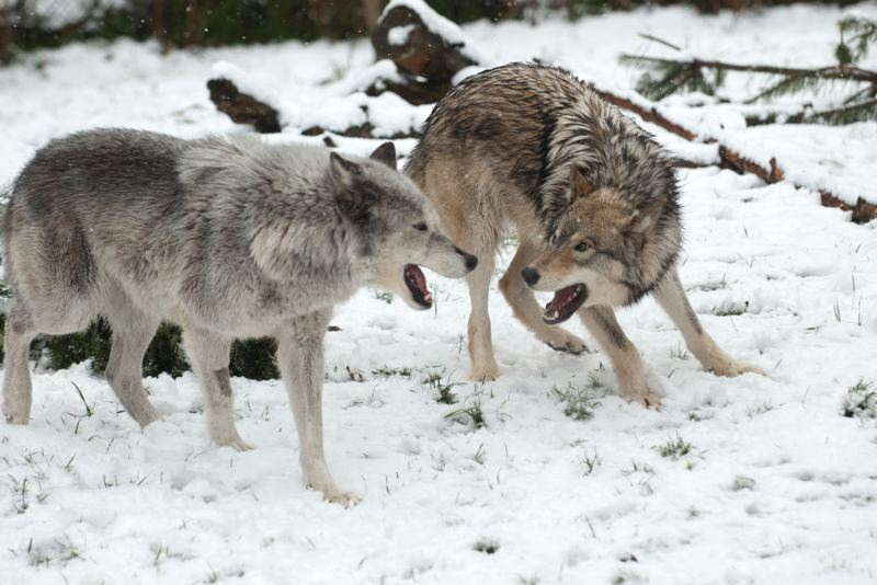 COURTESY PHOTO: MELINDA HOLLAND/OREGON ZOO - Cheyenne (gray) and Yazhi (black and brown markings) interact and wrestle with each other while on exhibit at the Oregon Zoo. A bill in the Legislature could stop an environmentalists' lawsuit blasting delisting of wolves in the wild.